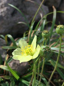 透き通った黄色の花びら