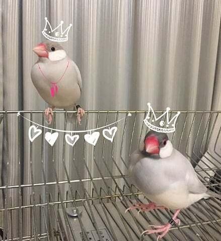 文鳥の換羽、恋の季節
