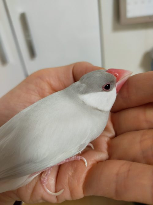 文鳥の老い支度。脚力が弱くなってきたときの対処法。文鳥が高齢になったらケージ内の工夫が必要です