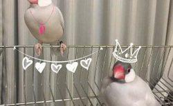 文鳥,シルバー文鳥