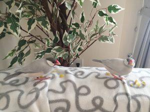 トウモロコシ シルバー文鳥