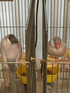眠る文鳥たち