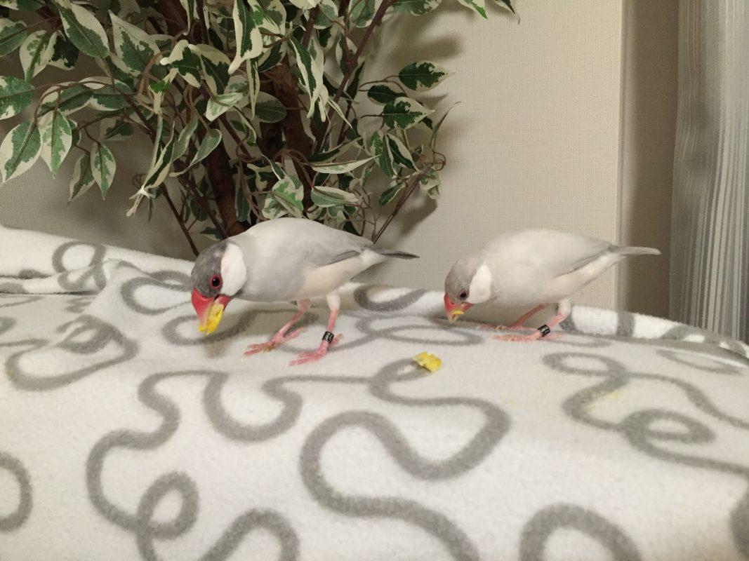 文鳥とトウモロコシとソファのお話。文鳥はトウモロコシが大好物です。