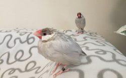 水浴び直後の文鳥